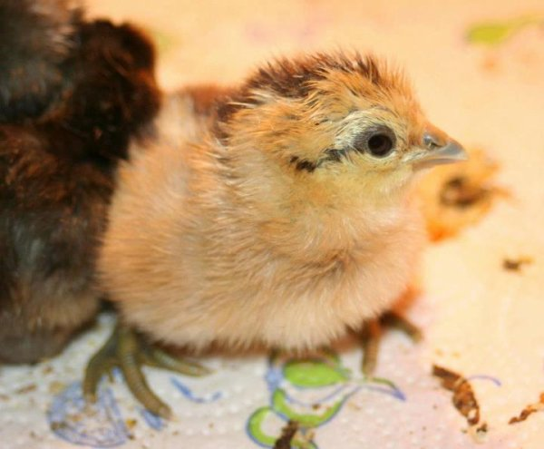 Liege game chick hatched today, color ?? Doctore x Vranken