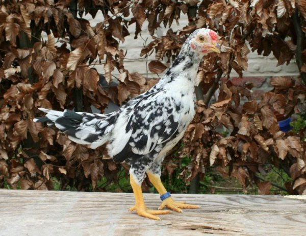 Asil bantam youngster