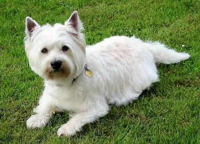 Le West-Highlannd White Terrier plus connu sous le nom de Westie ...