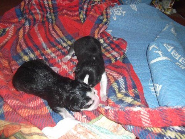 Les chiots sont nés !!! 02 décembre merveilleuse date