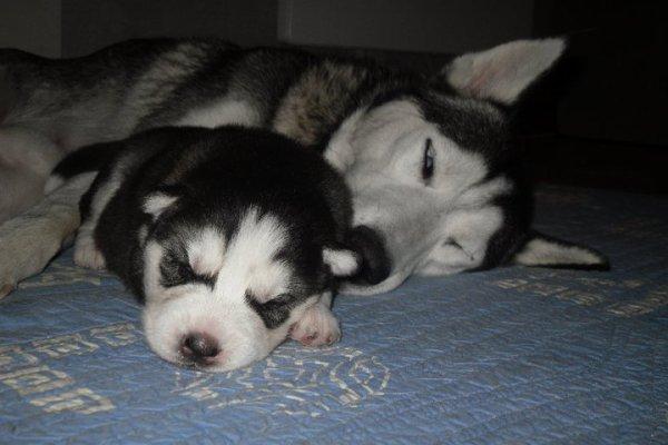 Femelle noire et blanche à 2 semaines!!