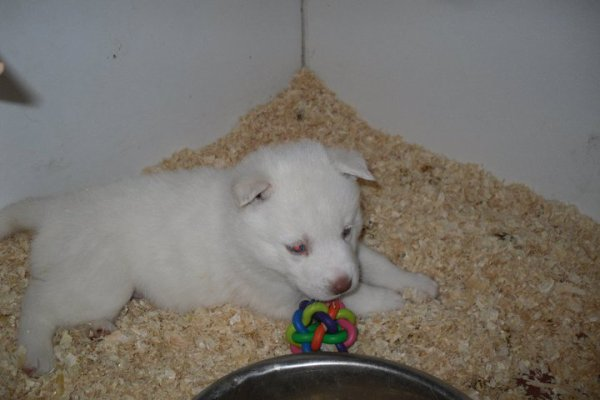 Femelle blanche à 4 semaines !!!