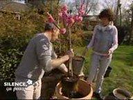 Planter en pot le Prunus persica Pink Peachy ( Mars )