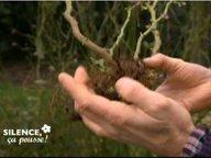 Planter le rosier à racines nues ( Février )