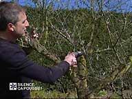 La taille de l'olivier en pot ( Avril )
