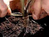 Greffe de l'aubergine sur un plant de tomate ( Avril )