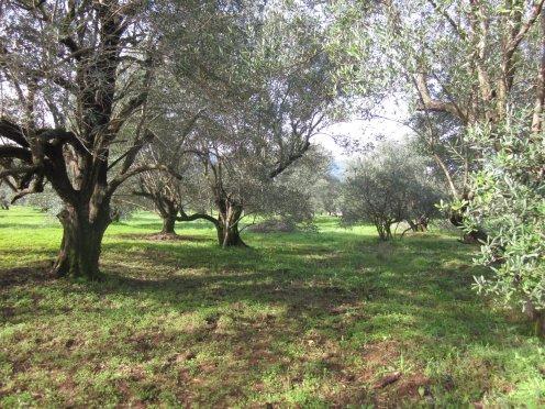 les oliviers de la kabylie