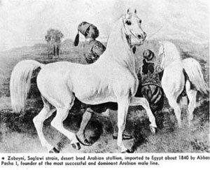 Un bel ancètre pour de beaux poneys...
