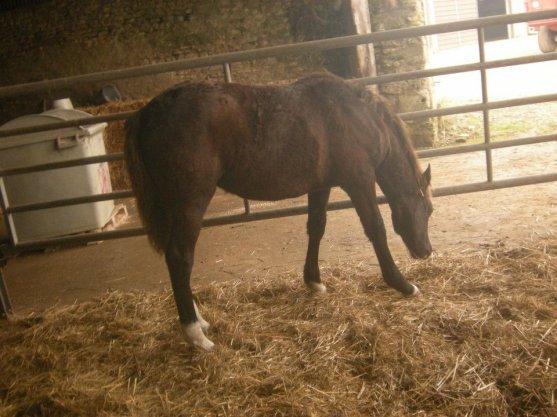 C'est bientôt l'hiver....  les poneys ont quitté les prés pour la châleur des écuries...