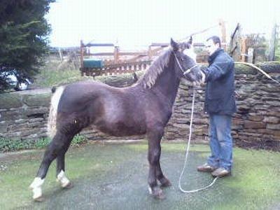 Voici le nouvel étalon de l' élevage !!!  Nous espérons qu'il sera digne de son prédécesseur ...  Notre admirable Harley !