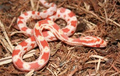 serpent des bles albinos - Blog de tmol2301