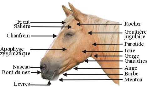 le corps du cheval