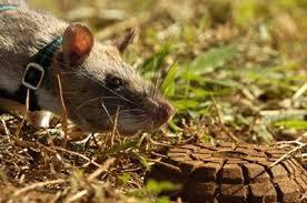 Les rats démineurs