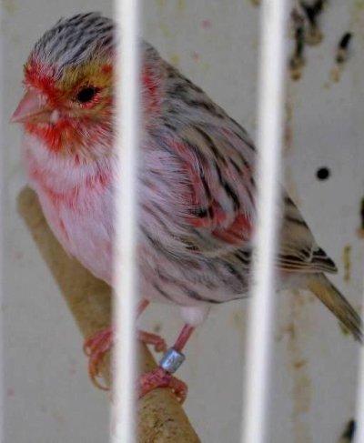 Topacio agata rojo mosaico (pollo)