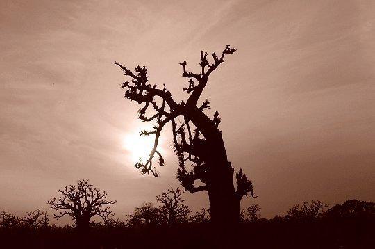 baobabe