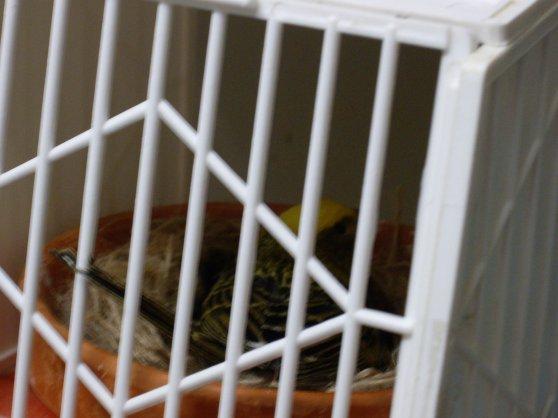 Depuis mercredi les nids sont installés , a ce jour tous terminé sauf 1 , bonne reproduction 2011 !!!!