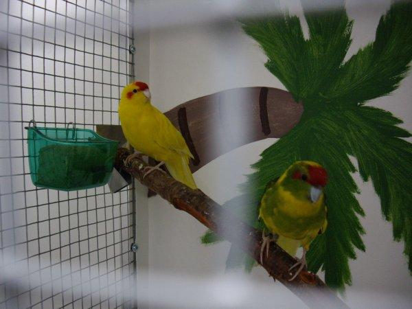 Couple de perruche kakariki