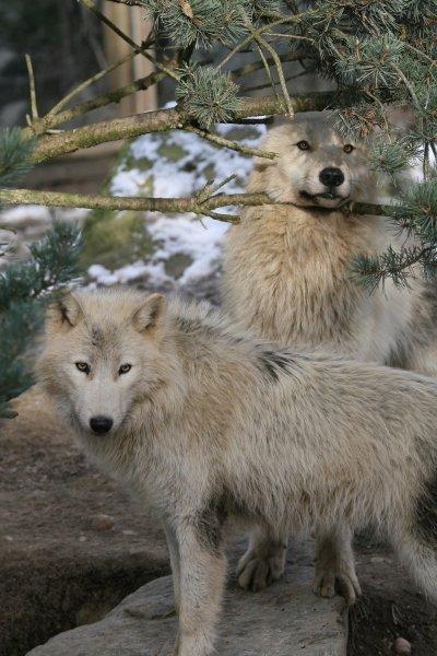 loup au repos