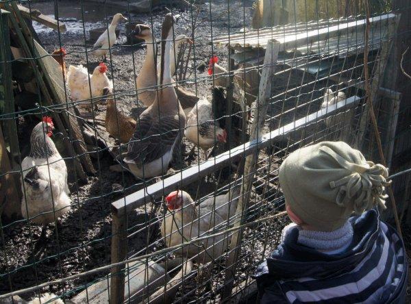 Les poules du voisin