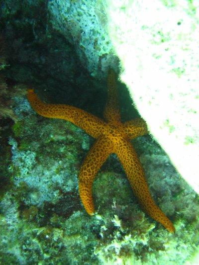 Kossal Plongée Estartit 16 : étoile de mer