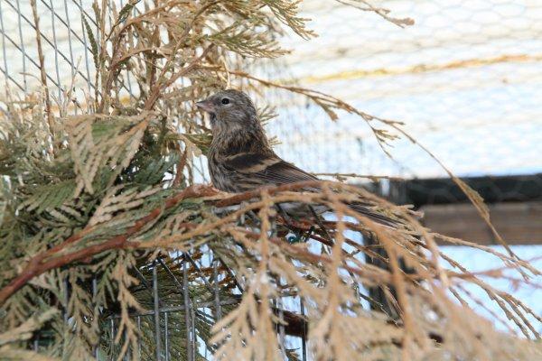 Cession d'oiseaux d'élevage 2012