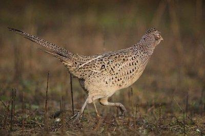 poule faisane
