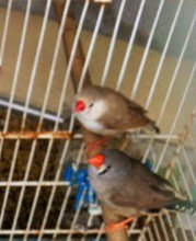 brune poitrine blanche et grise