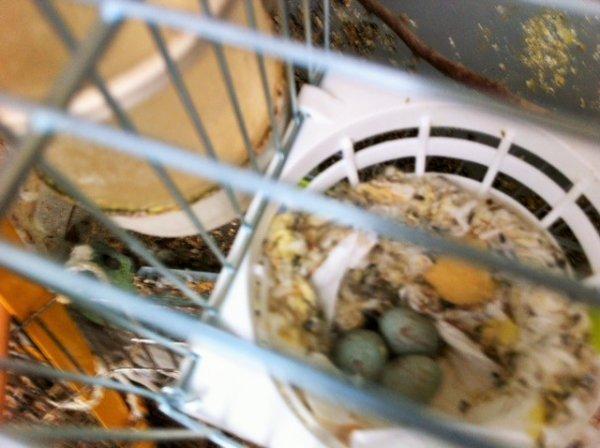 un nid de canaris