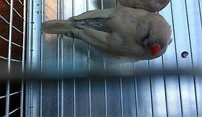 nouvelle femelle dos pâle grise