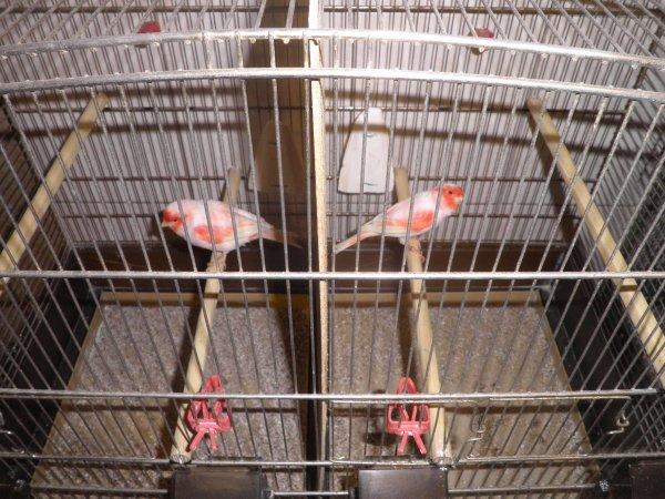 Les mâles en cage d'élevage ( suite )