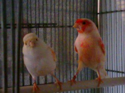 un couple de mosaique rouge pour la reproduction de 2011