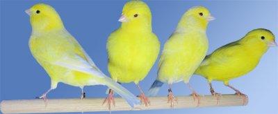 des jaunes de paradie de oisauxs