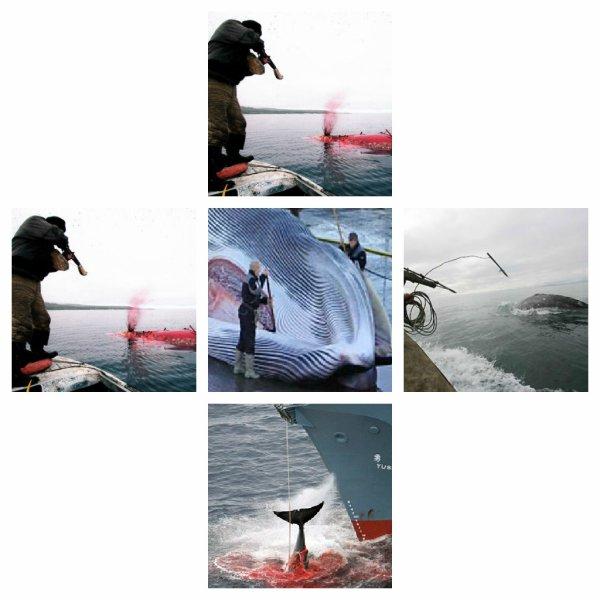 La chasse au mammifère marin