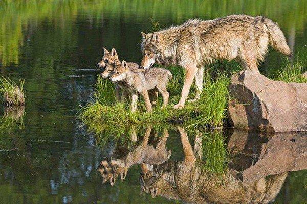 .loups et ameridiens