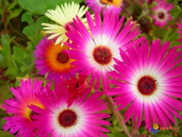 .fleurs