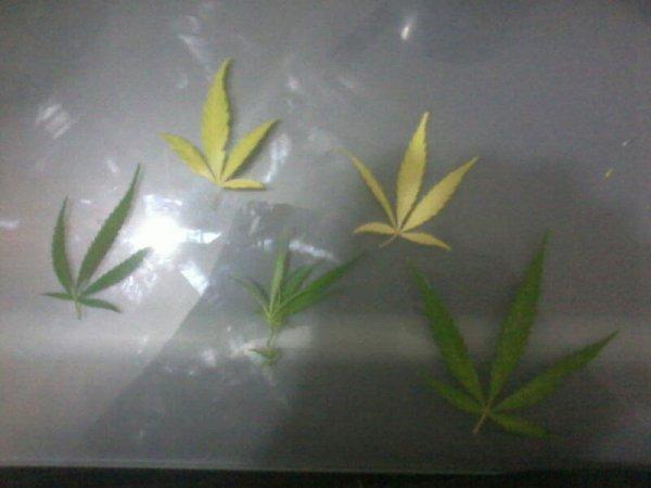 Feuilles de weed