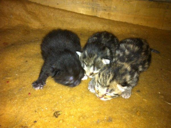 je donne 3 petit chatons dans 2 mois :)