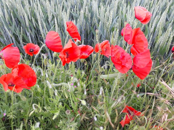 Gentils coquelicots mesdames