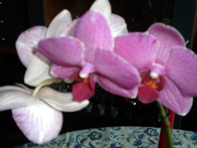 mon phaleno (orchide)