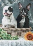 Photo de boulldog-francais60800