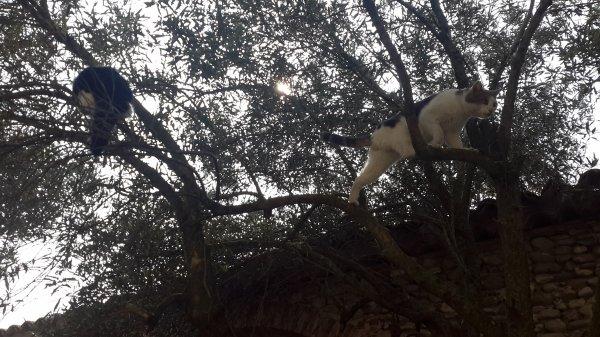 Arbre à chats... Dilemme au coeur de l'olivier.