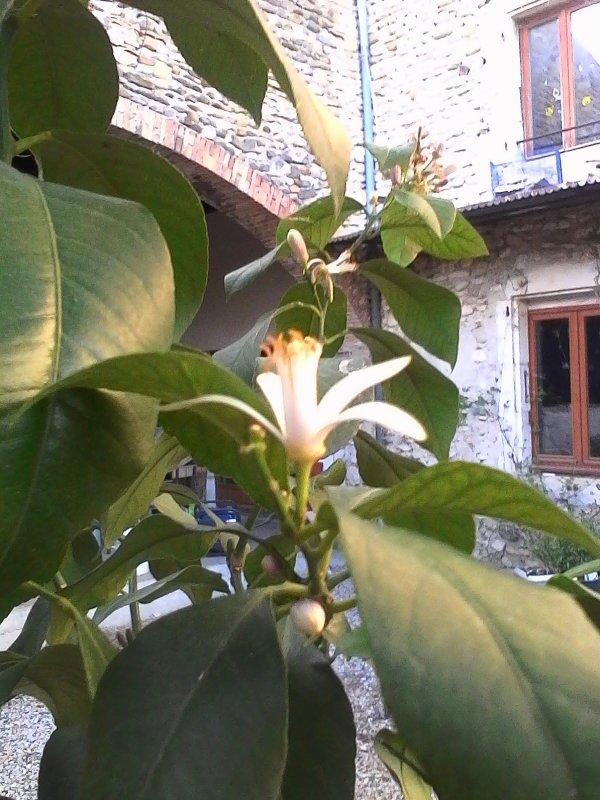 Fleurs de citronnier et fruit du magnolia...