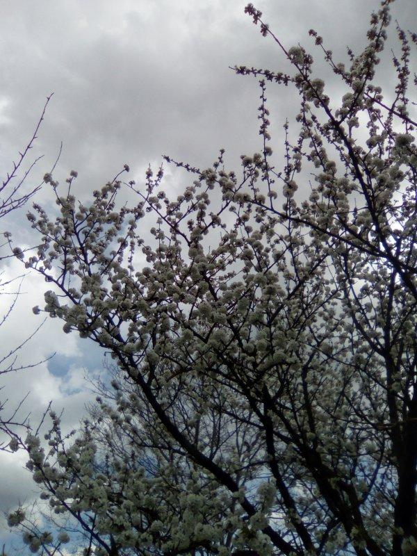 Senteurs de printemps sur ciel quelque peu maussade...