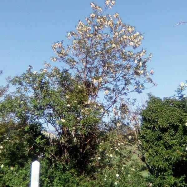 Le temps des acacias...