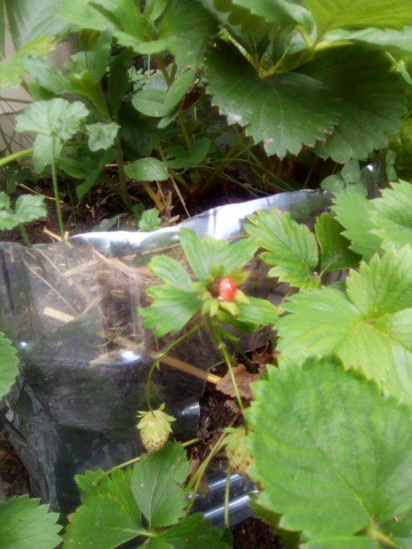Curieuse fraise de Sorcière...