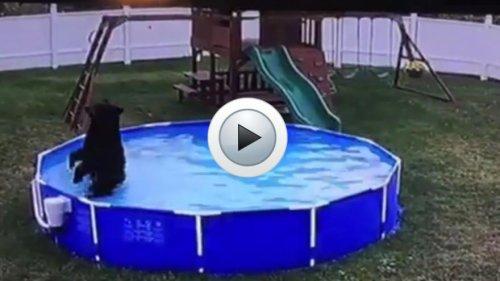 Un ours s'invite dans une piscine familiale !
