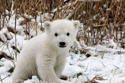 A la rescousse d'un ourson polaire