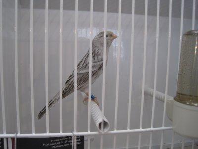 Reggio 2011 - agate pastel blanc - 1er ind. - 93pts - cage 2458