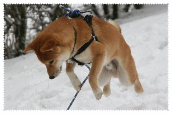 La Race De Chien La Plus Belle Animalerie Corsanimalia