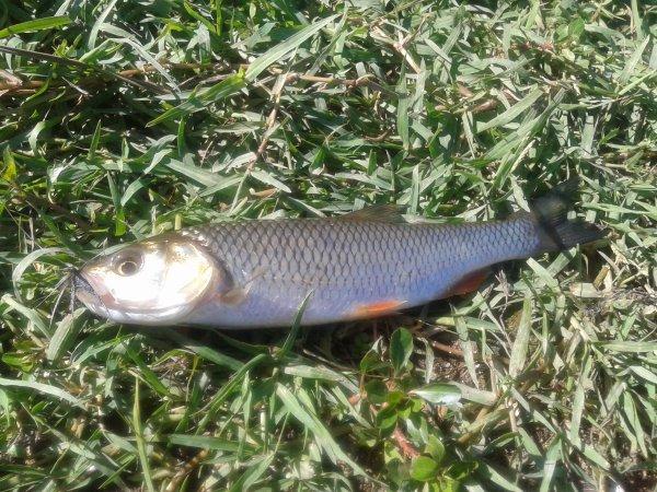 quelques poisson à la mouche pris dans la vienne cet été!